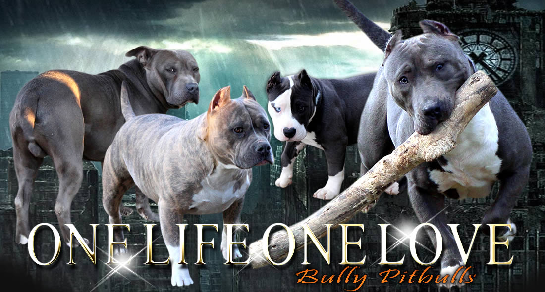 One Life One Love Blue Bully Pitbulls Home