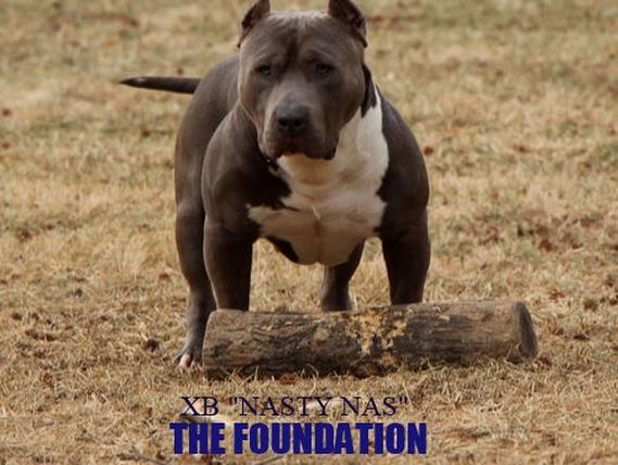 One Life One Love Blue Bully Pitbulls - Home